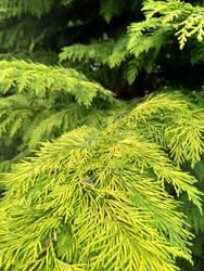 The green of thuja bush