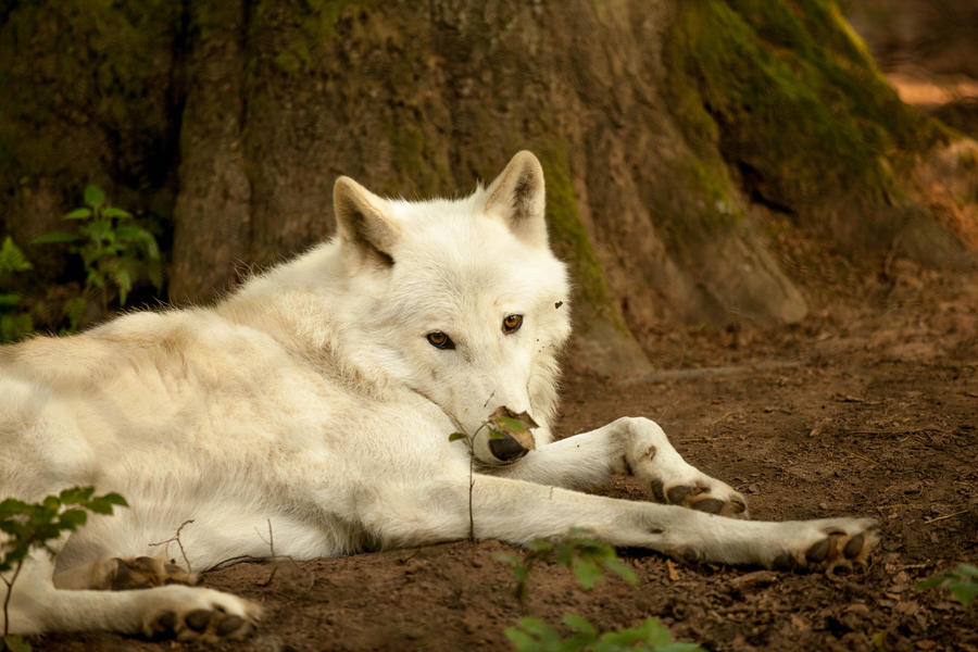 Arctic Wolf posing by whitewolffighter