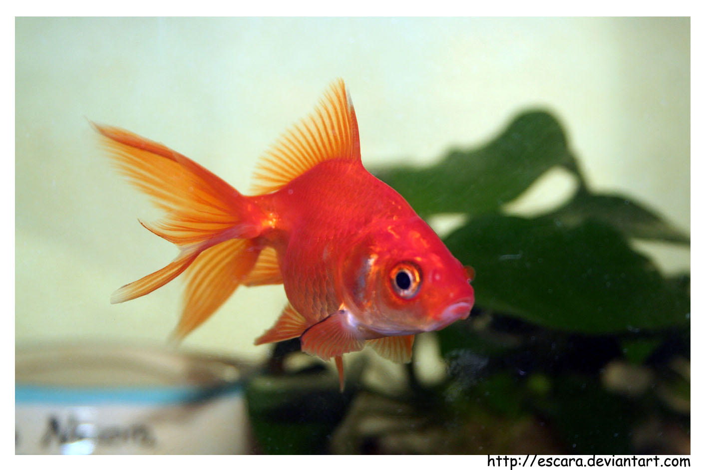 Le petit poisson rouge by escara on deviantart for Poisson rouge artificiel