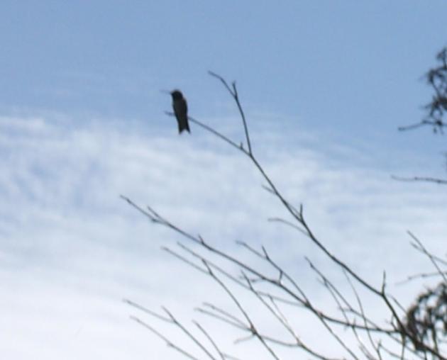 Humming Bird Silhouette by FloofyWhiteWolf