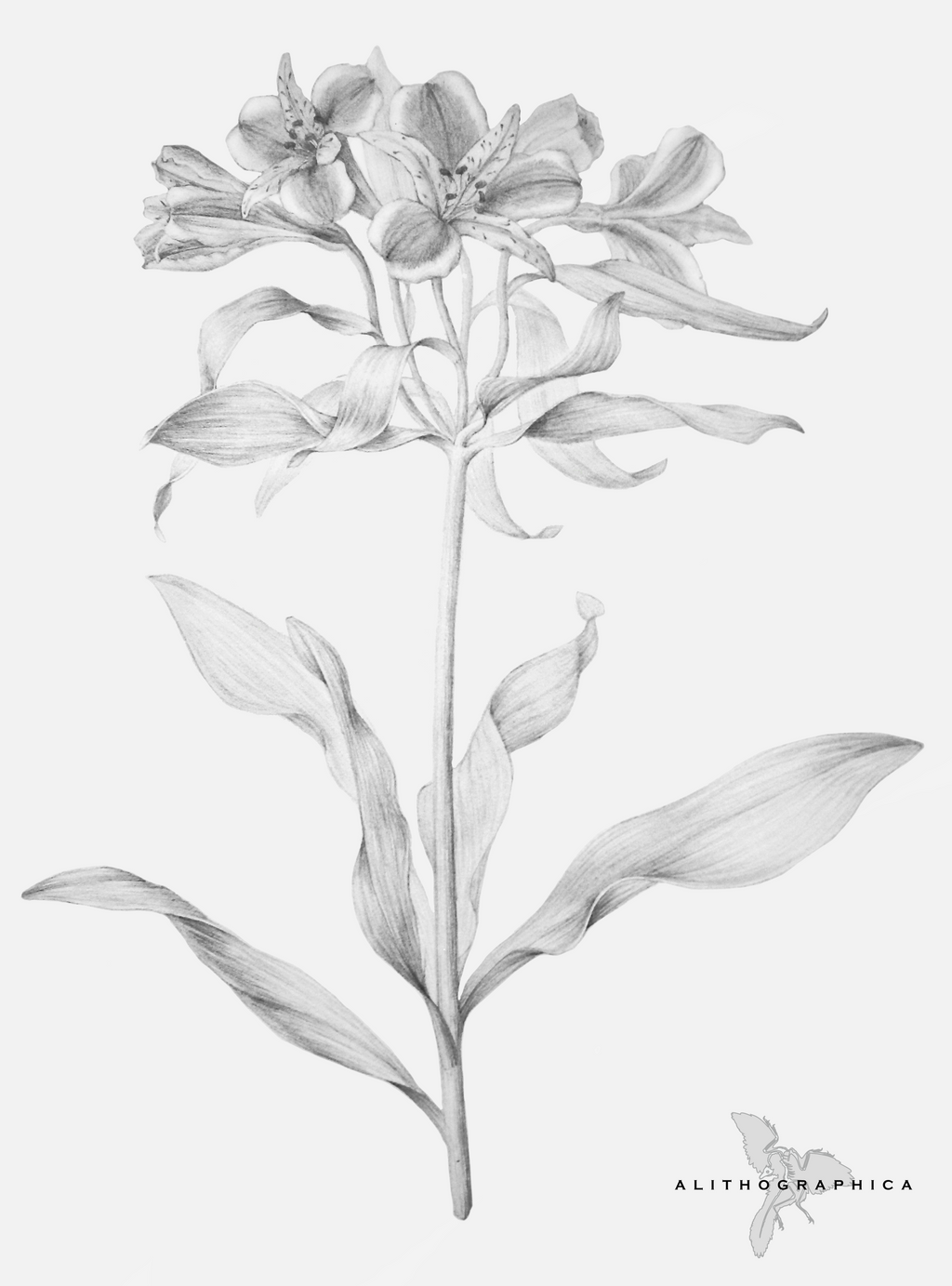 Alstroemeria by Alithographica on DeviantArt