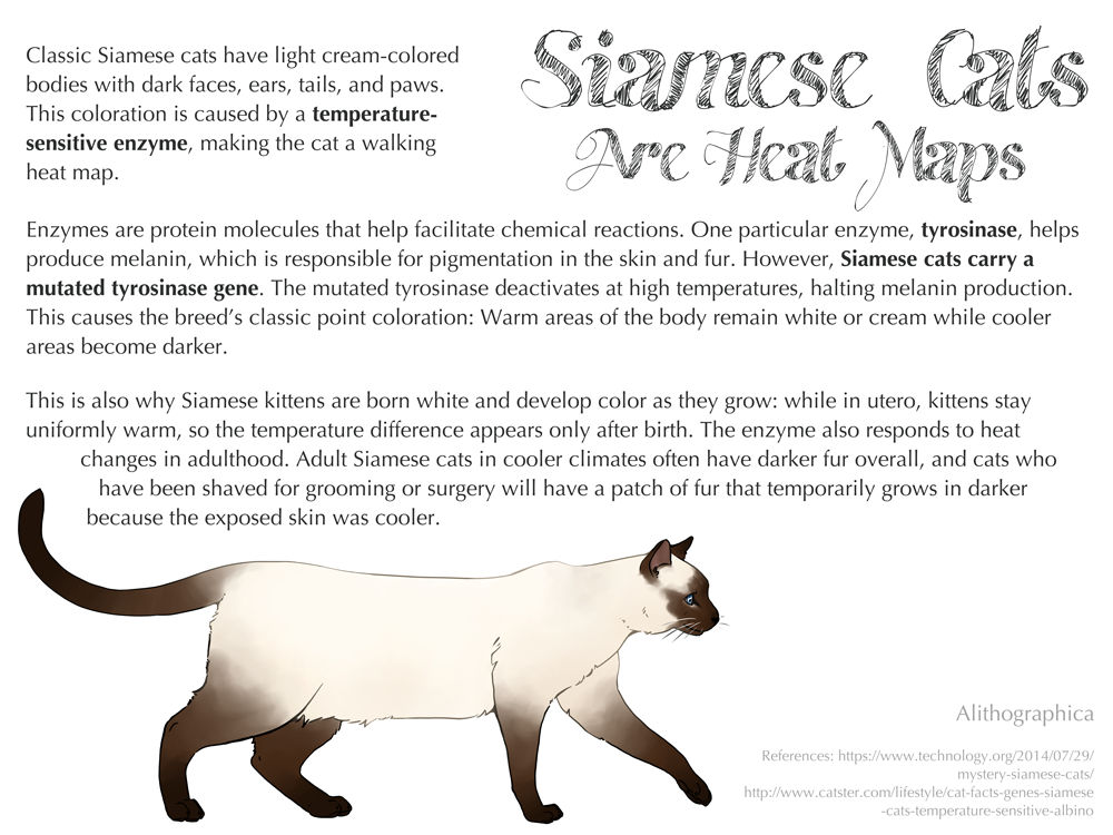 Science Fact Friday Siamese Cats Are Heat Maps By Alithographica