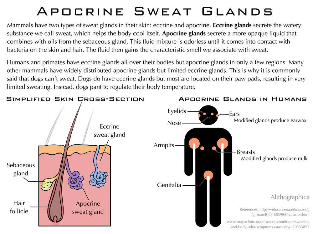 Science Fact Friday: Apocrine Sweat Glands by Alithographica on ...