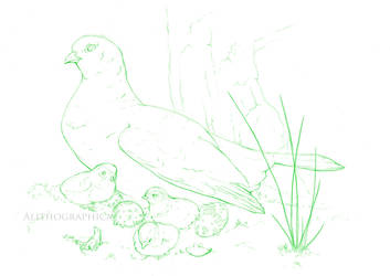 Ptarmigan by Alithographica