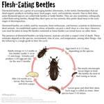 Science Fact Friday: Flesh-Eating Beetles