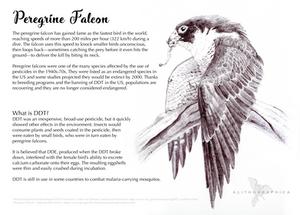 Science Fact Friday: Peregrine Falcon