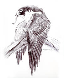 Ballpoint Peregrine Falcon