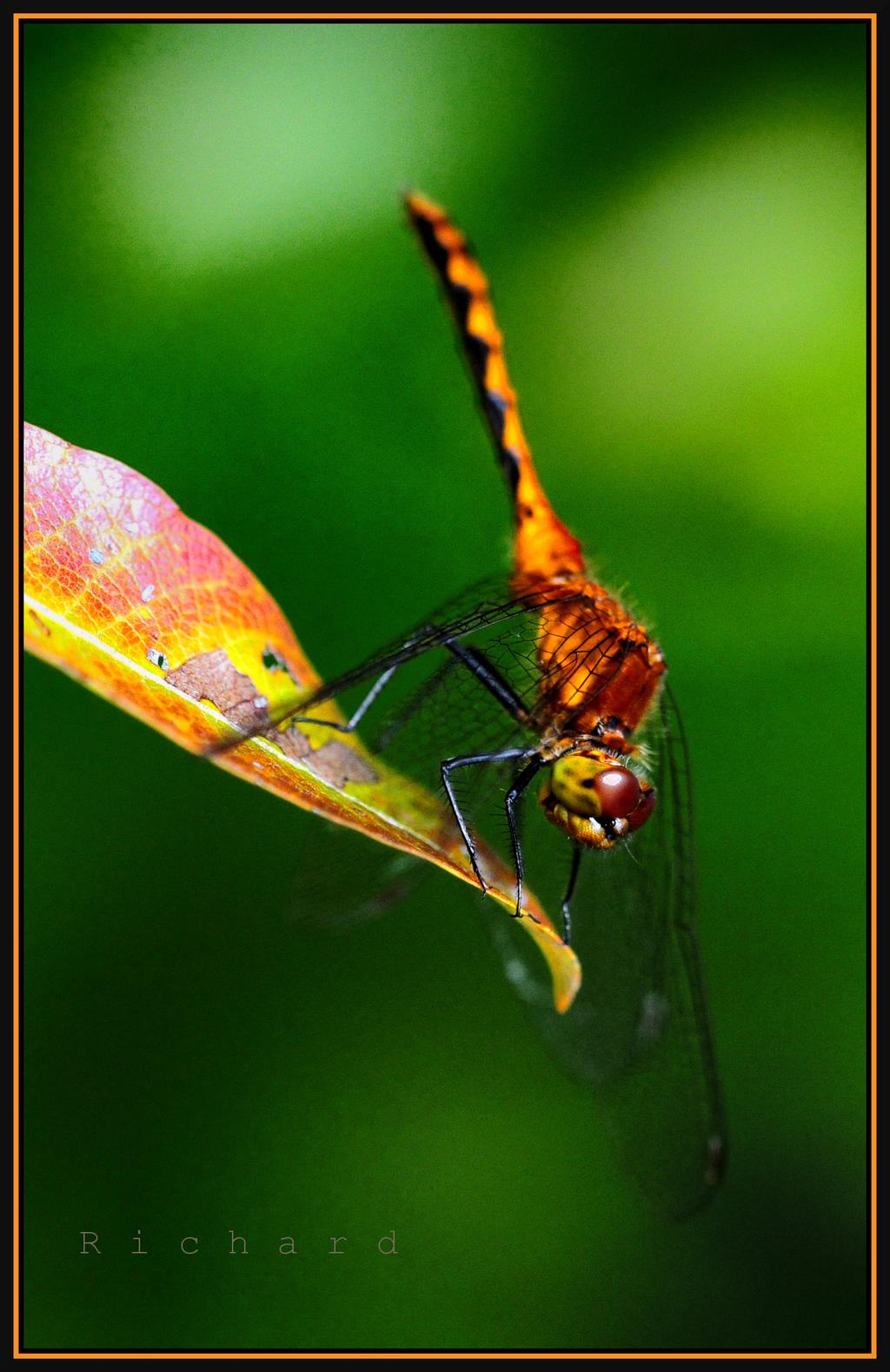 dragonfly 1 by RichardRobert
