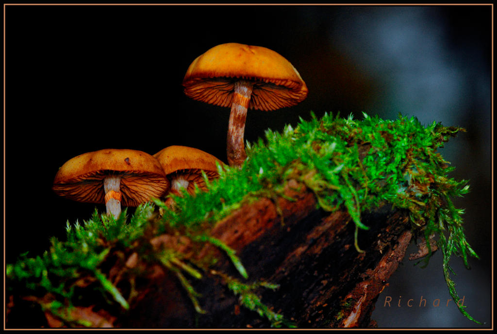 mushroom 2 by RichardRobert