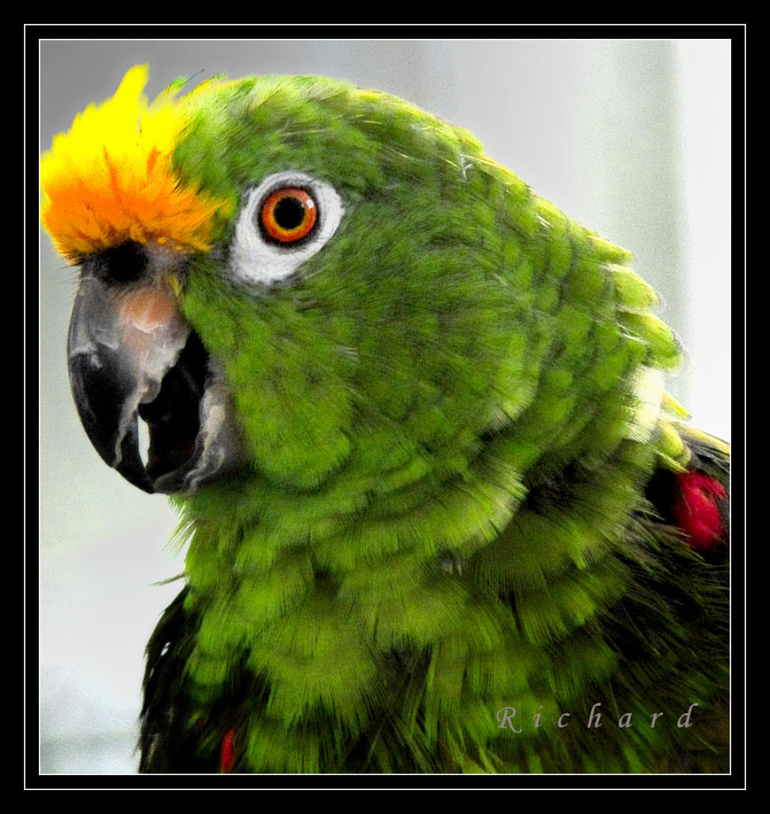 1 parrot by RichardRobert