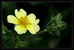 yellow flower by RichardRobert