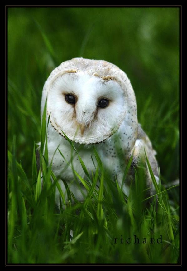 owl by RichardRobert
