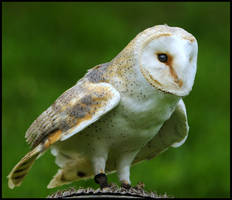 barn owl 1 by RichardRobert