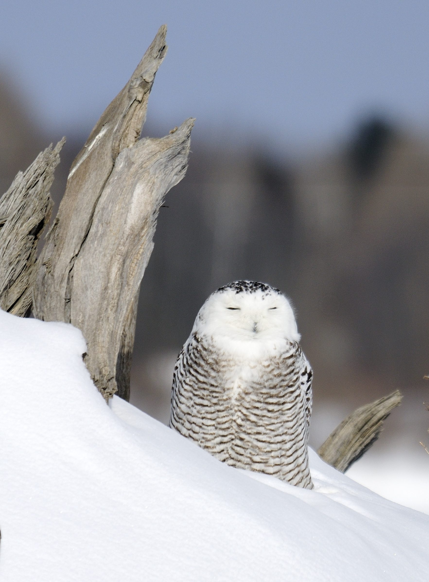 Snowy owls...Harfang des neiges... by RichardRobert