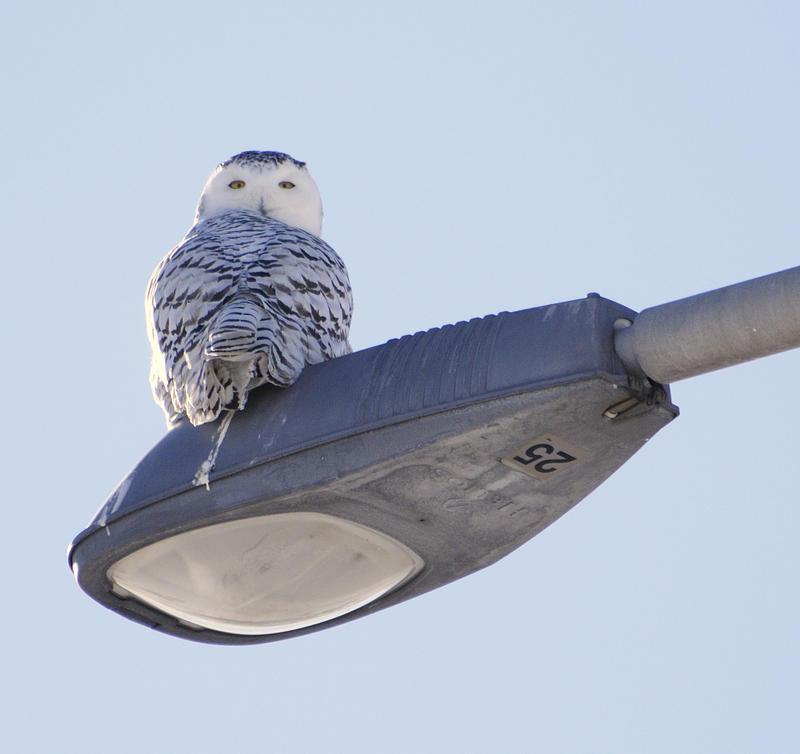 Snowy owl by RichardRobert
