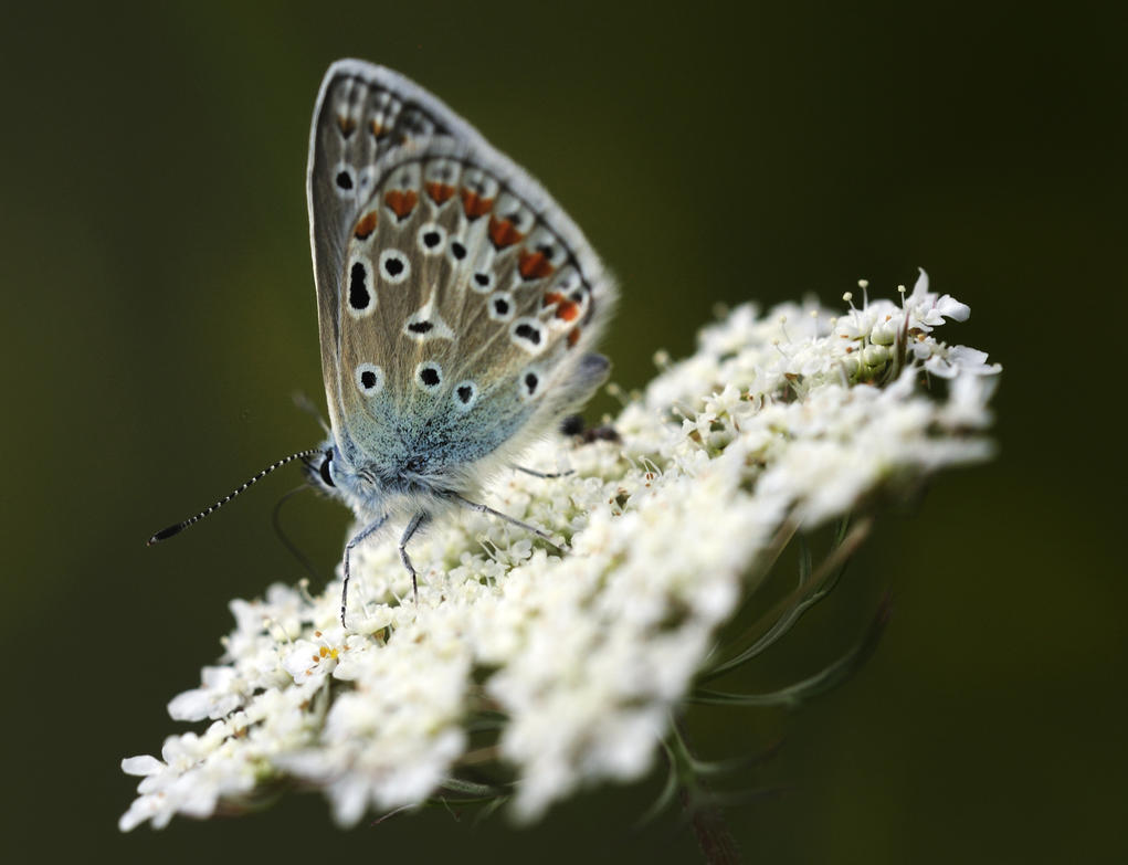Bel-argus butterfly by RichardRobert