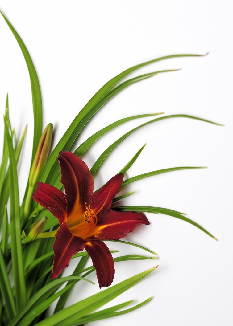 lily by RichardRobert