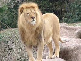 Lion by JARDD