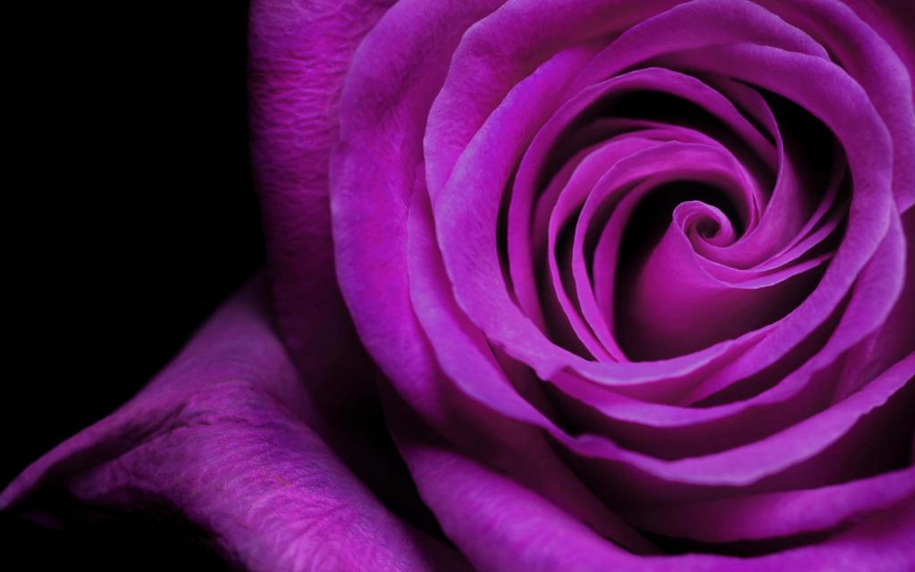 Rose by V-i-k-k-i