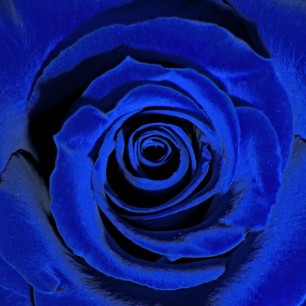 Blue rose by V-i-k-k-i
