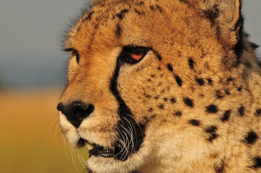 Cheetah 2 by walste