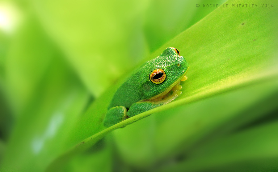 Mr Green Frog by RainaAstaldo