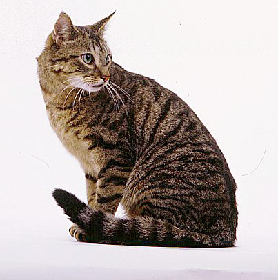 Black Mackerel Cat