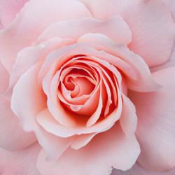 Pink rose 02