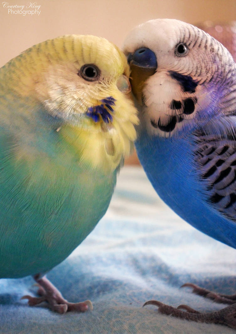 My favourite bird is   the Budgerigar by Exotic-Birds on