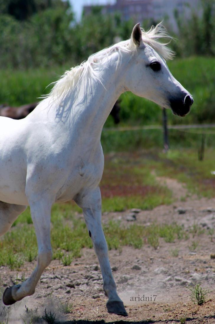 White arabian horse - photo#13