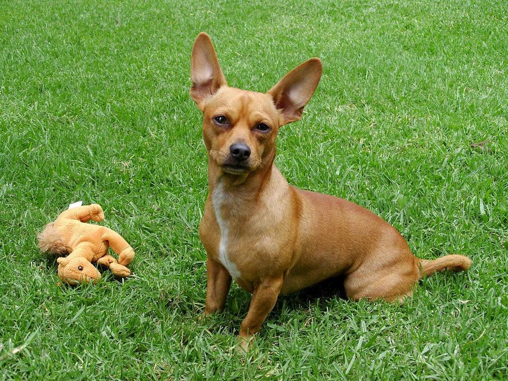 How To Make A Chihuahua A Service Dog