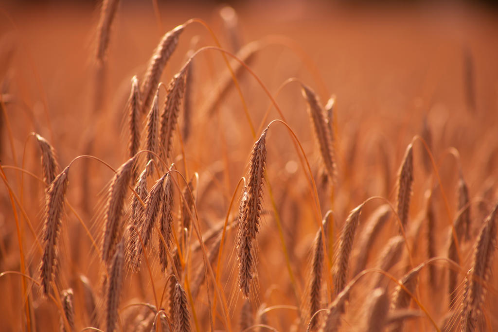 Wheat Stock by Aredelsaralonde
