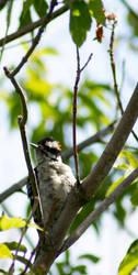Woodpecker by lolnyny