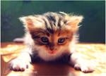 Little, Reddish, Fluffy  Tiger