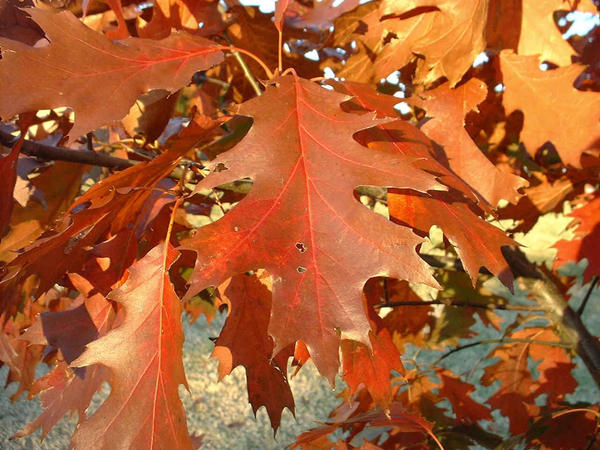 Red Oak - Fall Leaves by Graphitation