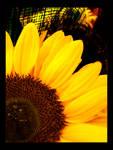 sunflower.4