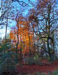 Autumn woodland beech trees