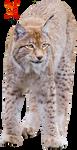 Lynx by PhoenixRisingStock