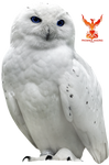 Snow Owl by PhoenixRisingStock