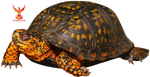 Box Turtle by PhoenixRisingStock