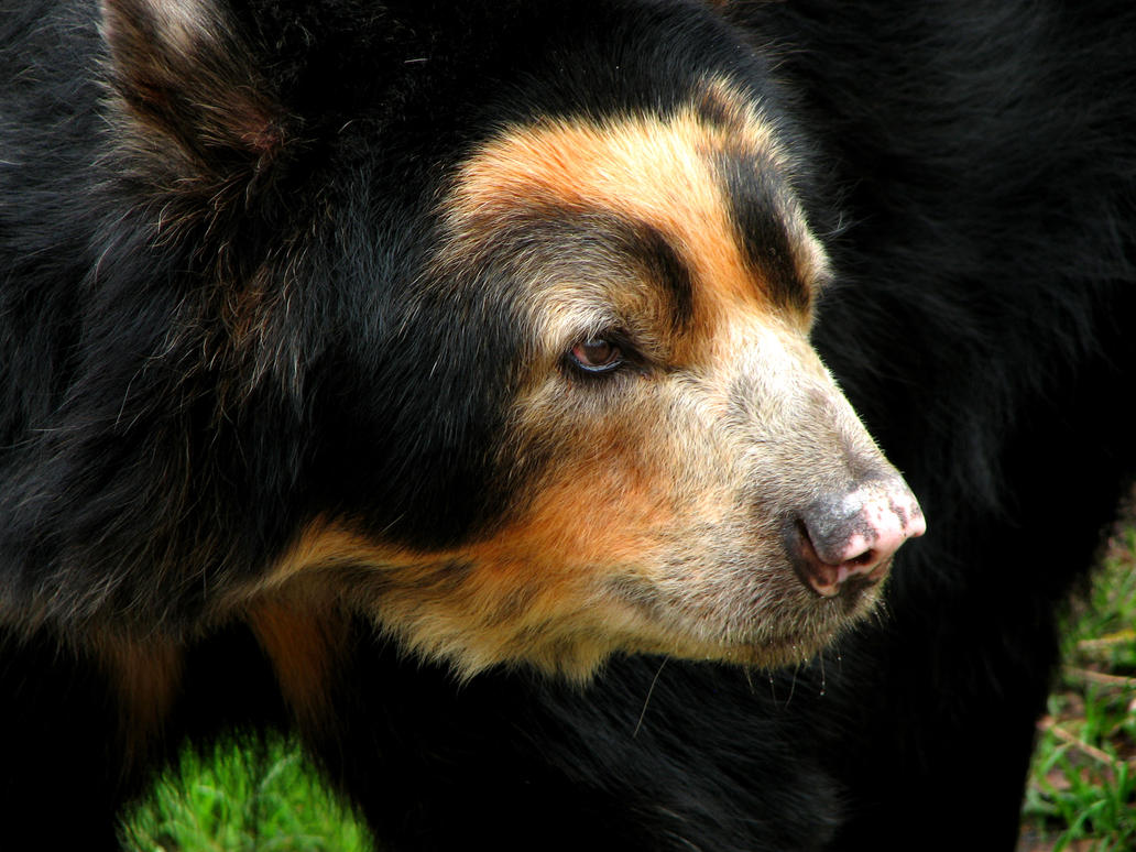 Spectacled bear 2 by firitheryn