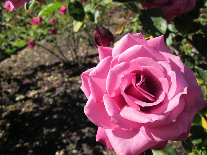 Pink Rose by Spinian