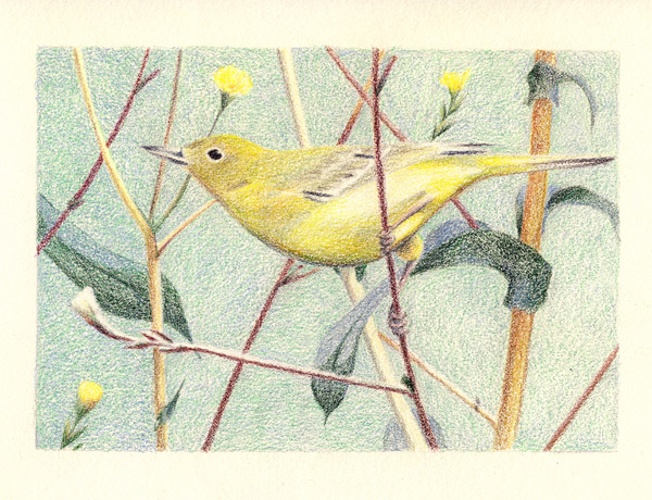 Yellow Warbler by Vineris