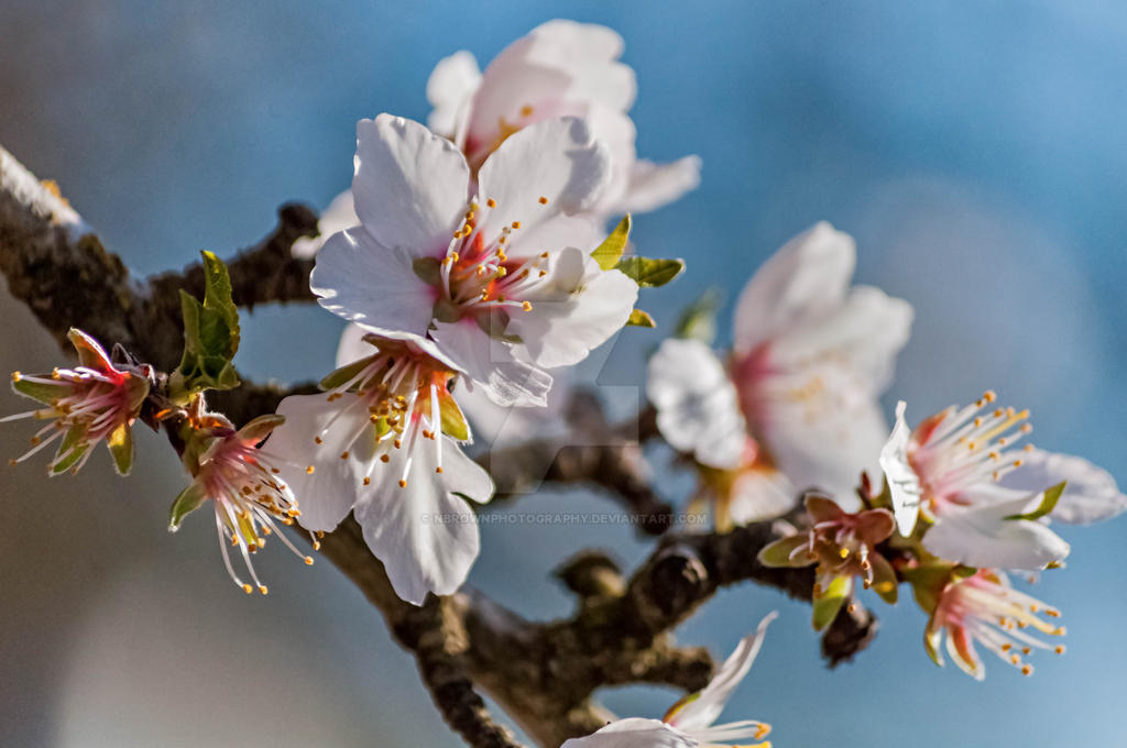 blossoms by NBrownPhotography
