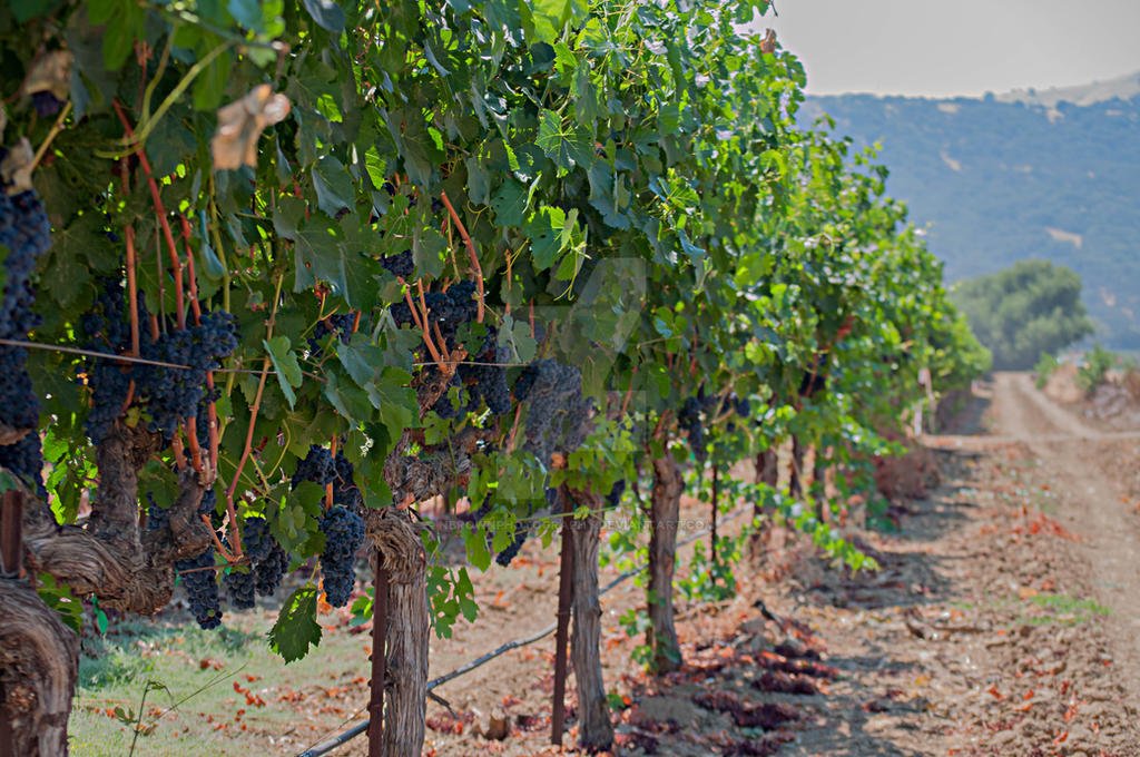 Vineyard trail by NBrownPhotography