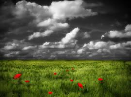 Poppy field stock by Sleepwalker-stock