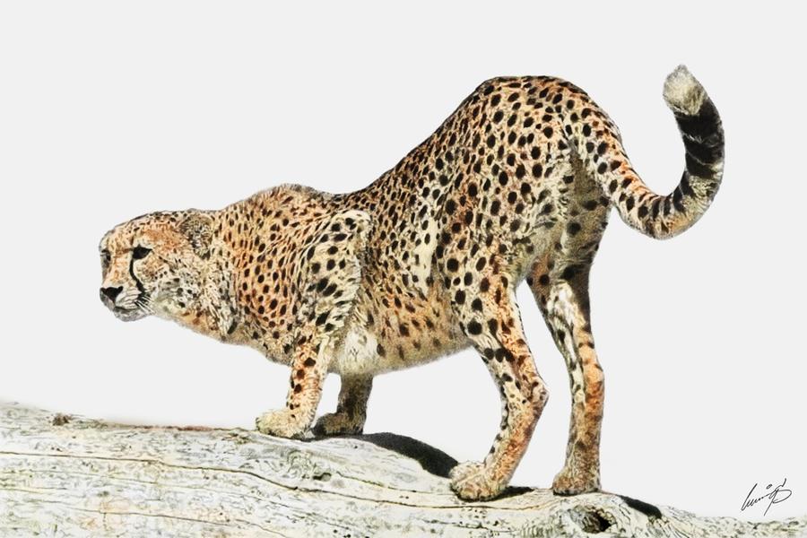 A study on the cheetah | Homework Academic Writing Service