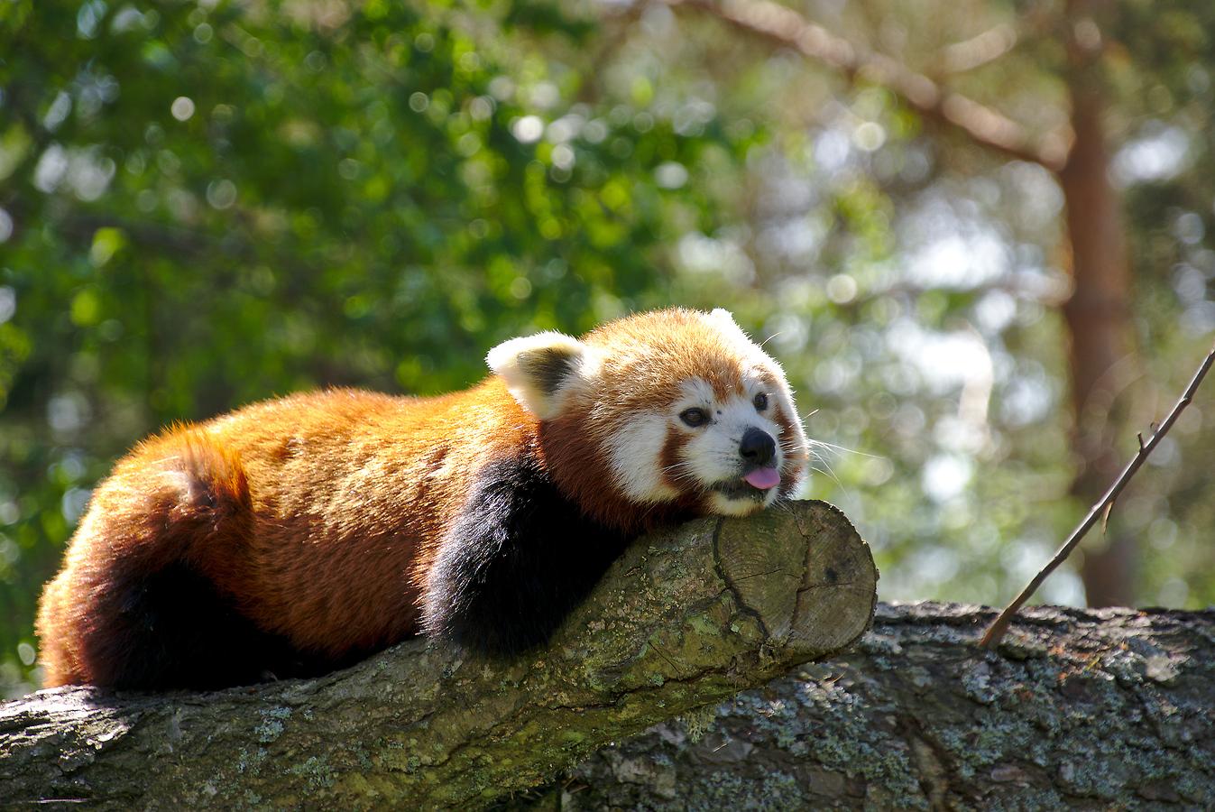 Lazy panda by perost