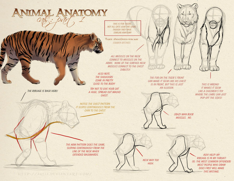 Animal Anatomy - Cats Part 1 by akeli on DeviantArt