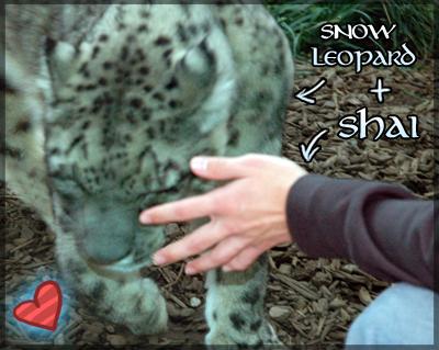 shaisnowleopard by akeli